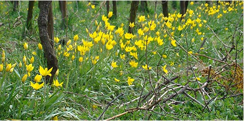 Wild tulips in the vineyards of the Pierre Frick estate