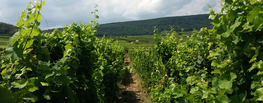 Vineyards of the Pierre Frick estate in Alsace