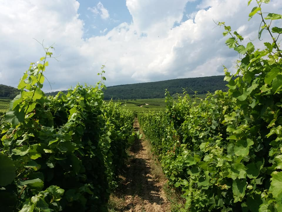 The vines of the Pierre Frick estate, Alsace wines